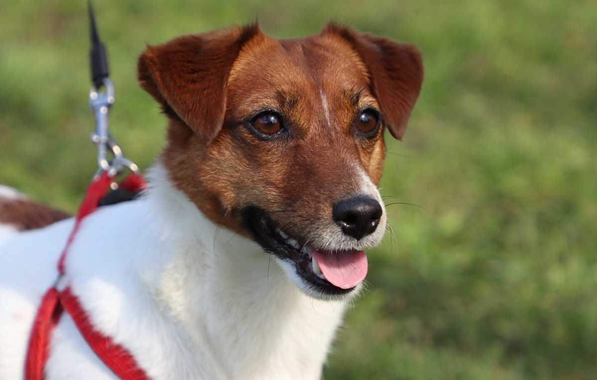Hond - jack russell